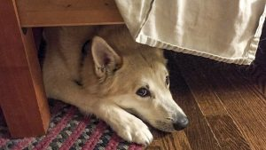How Dog Anxiety Could Be Affecting Your Dogs Behavior